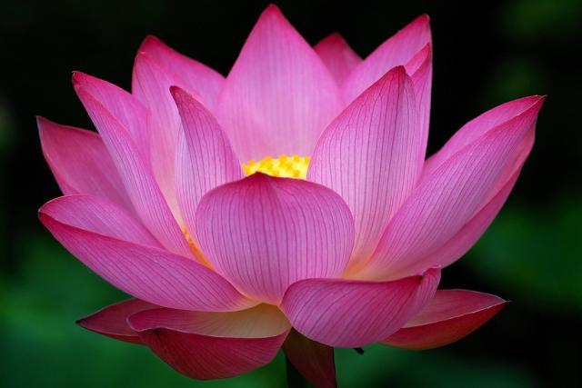 Big_dark_pink_Lotus_Flower_photo